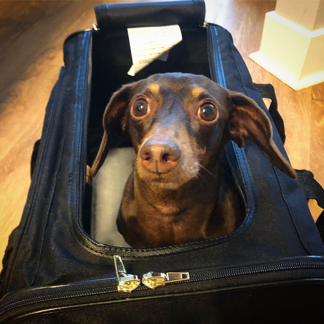 Sherpa Delta Pet Carrier with dachshund